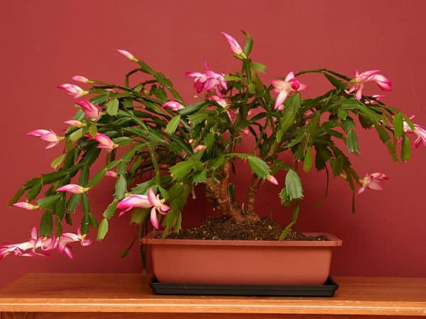 can be grafted - How To Make A Christmas Cactus Bloom