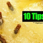 10 Tips For Getting Rid Of Annoying Fruit Flies