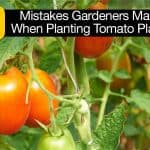 10 Mistakes Gardeners Make When Planting Tomato Plants
