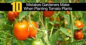 Tomato growing mistakes