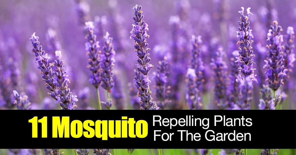 11 mosquito repelling plants for the garden for Best plants to keep mosquitoes away