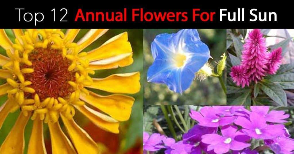12-annual-flowers-full-sun-07312016