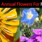 Full Sun Flowers: 12 Best Annual Bloomers For Summer Color!