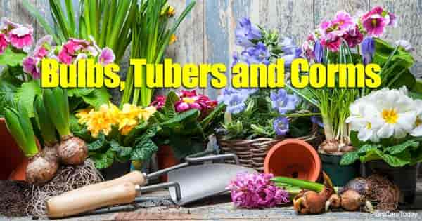 assorted bulbs, tubers and corms
