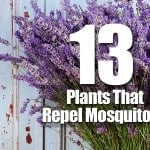 13 Plants That Repel Mosquitoes