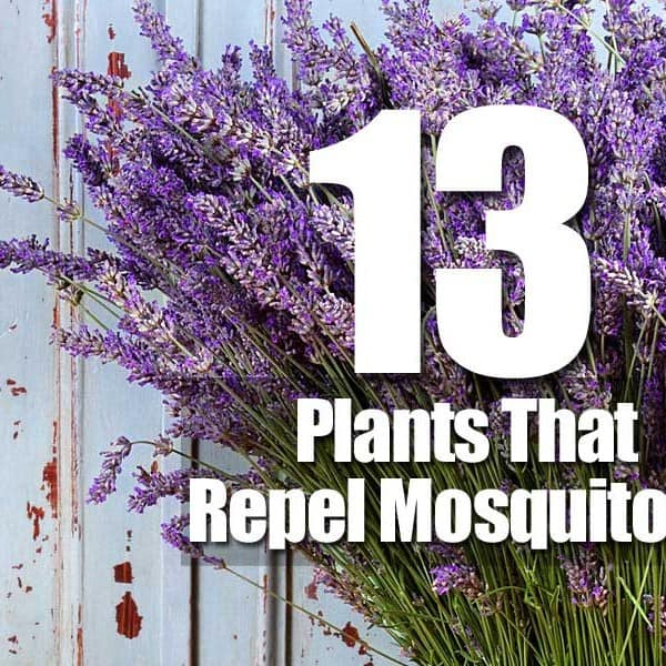 13 plants that repel mosquitoes for Best plants to keep mosquitoes away