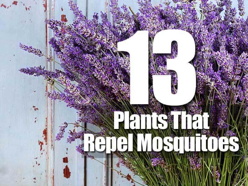 13 mosquito repellant plants