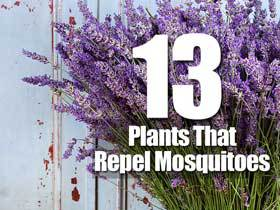 13-mosquito-repellant-plants-sb-083114