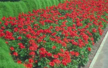 How to grow and care for geraniums - How to care for ivy geranium ...