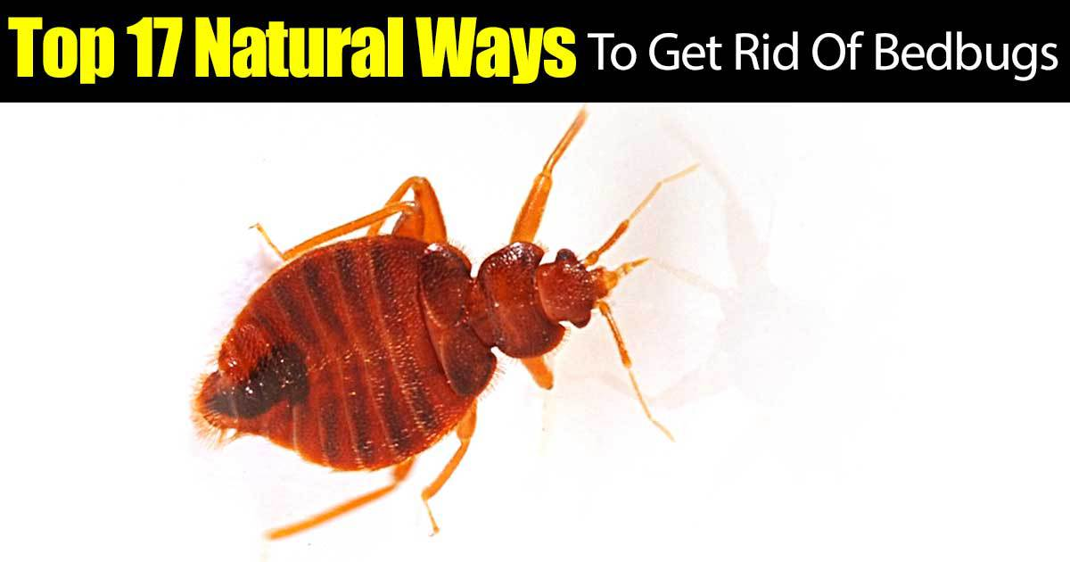 top 17 natural ways to get rid of bedbugs -