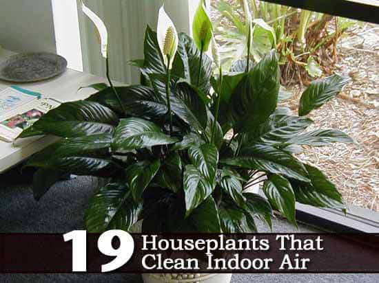 19 Recommended Indoor Air Cleaning Houseplants