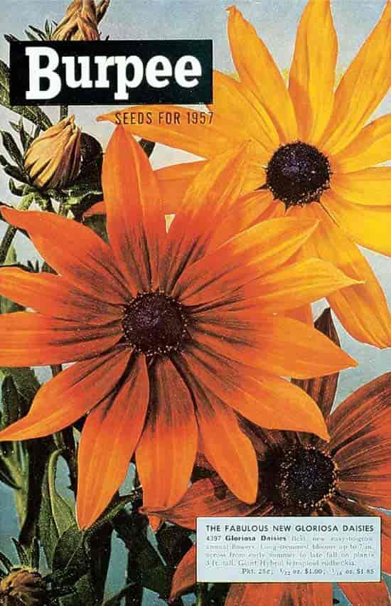 Seed packet of Burpee 1957 Gloriosa Daisies from Pinterest