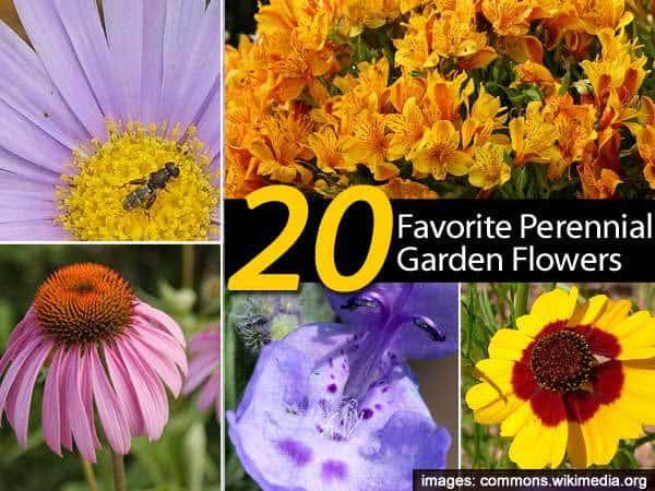 20 favorite perennial flowers for the garden mightylinksfo
