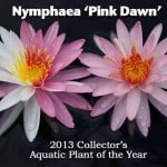 "Nymphaea ""Pink Dawn"" – 2013 Collector's Aquatic Plant of the Year"