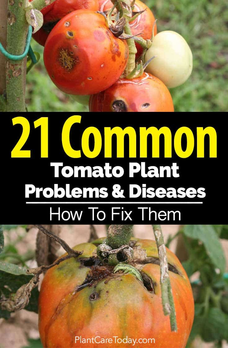 21 Common Tomato Plant Problems and Diseases - How To Fix Them