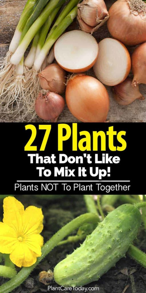 Incompatible Plants for the Garden