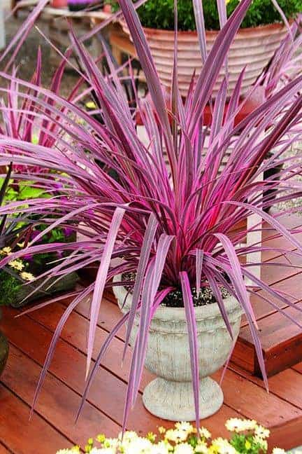 Cordyline: LEARN To Grow and Care For The Hawaiian Ti Plant on alternanthera house plant, aphelandra house plant, pleomele house plant, araucaria house plant, colocasia house plant, red and green leaf house plant, cereus house plant, olearia house plant, windmill palm house plant, lantana house plant, iris house plant, kentia palm house plant, acacia house plant, crassula house plant, zinnia house plant, scilla house plant, sansevieria house plant, mandevilla house plant, camellia house plant, giant white bird of paradise plant,