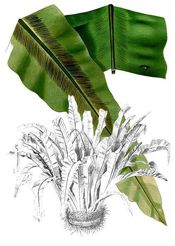 bird nest fern Asplenium nidus