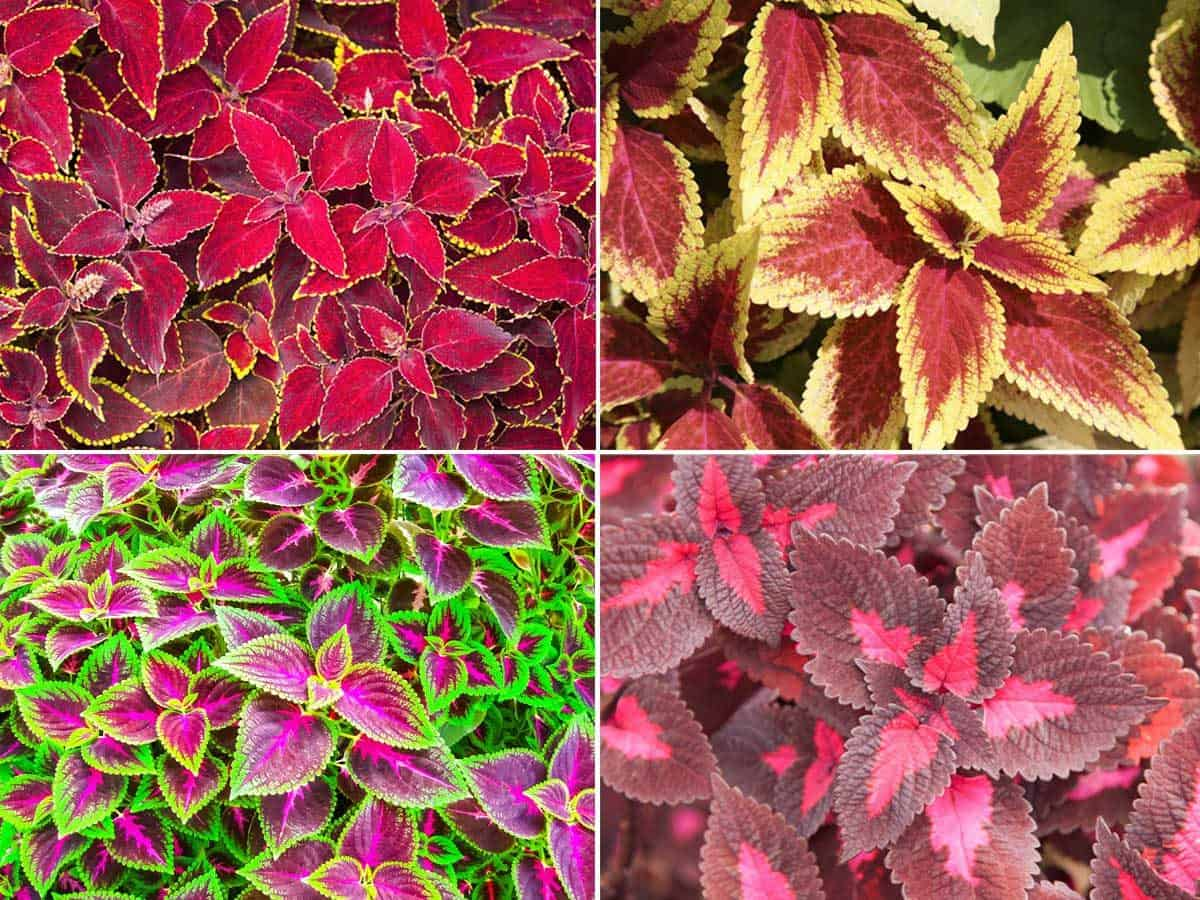 How To Grow The Colorful Coleus Plant Indoors And Out