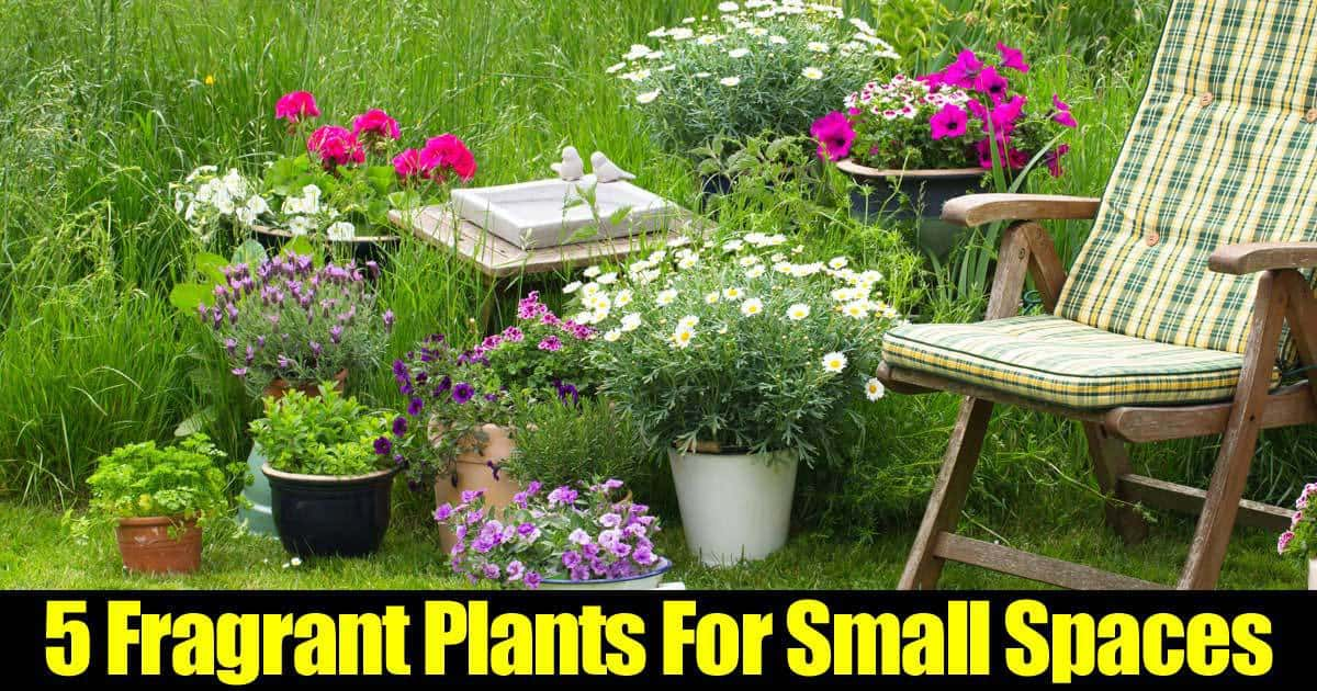 5 fragrant plants for small spaces for Trees for small places