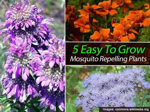 5 easy to grow mosquito repelling plants for Easy to keep garden plants