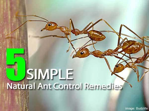 Home Remedies For Ants Using Vinegar