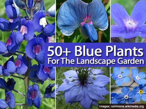 50-blue-plants-043014