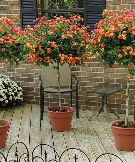 Lantana Plant How To Grow And Care For Lantana Bush Trees Guide