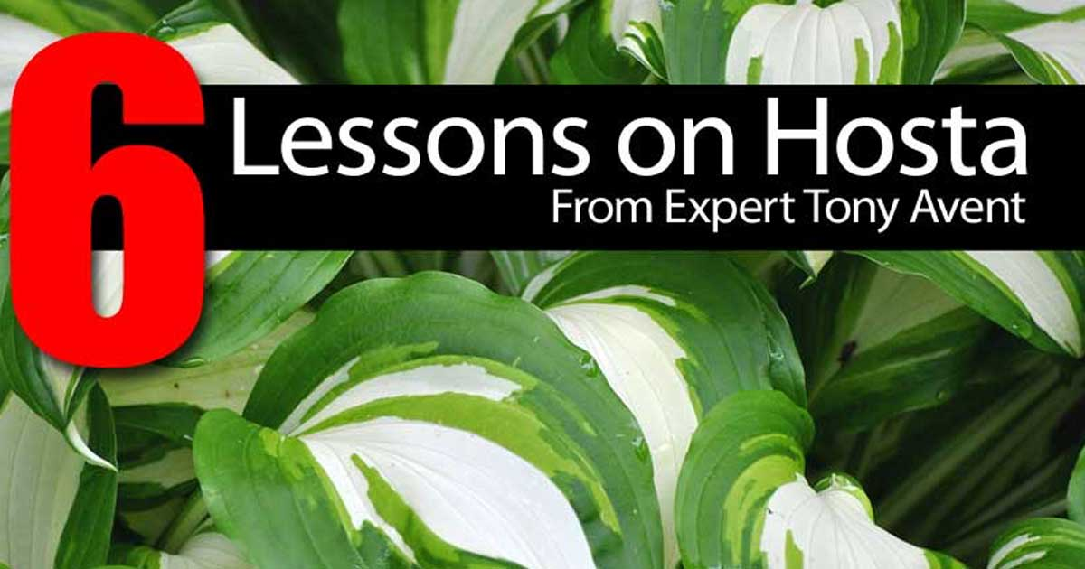 6 Lessons About Hosta From Expert Tony Avent
