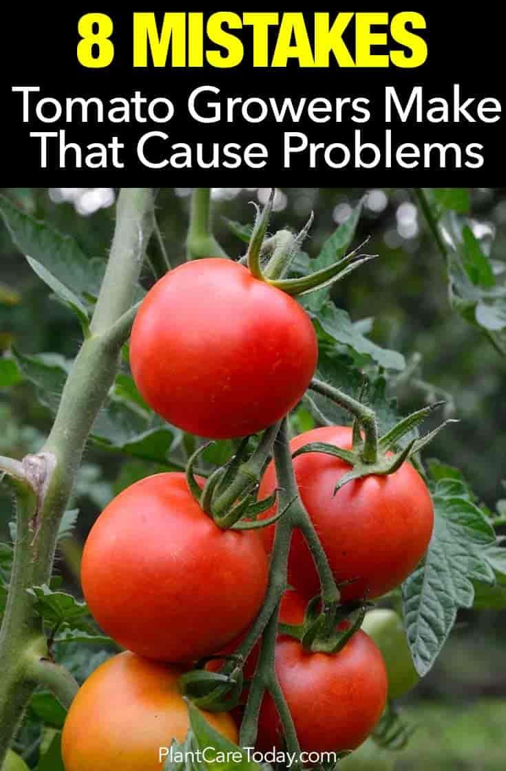 ripe fruit on a tomato plant