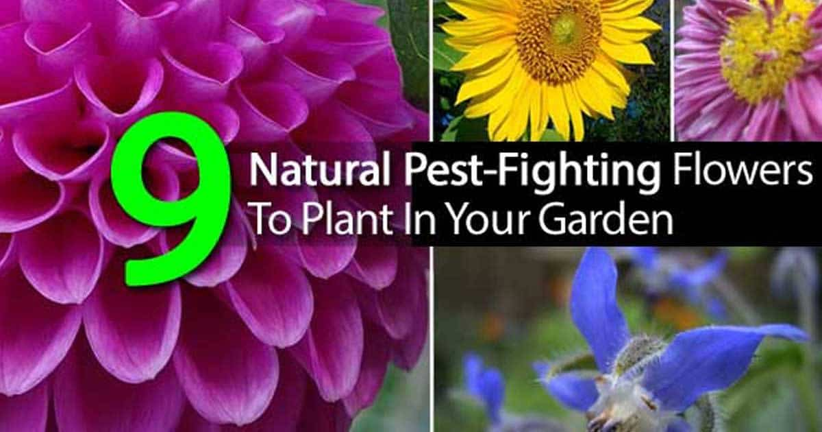 9 natural pest flowers