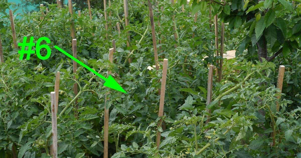 staked tomato plant