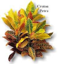 CrotonPetra