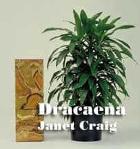 Dracaena_JanetCraig