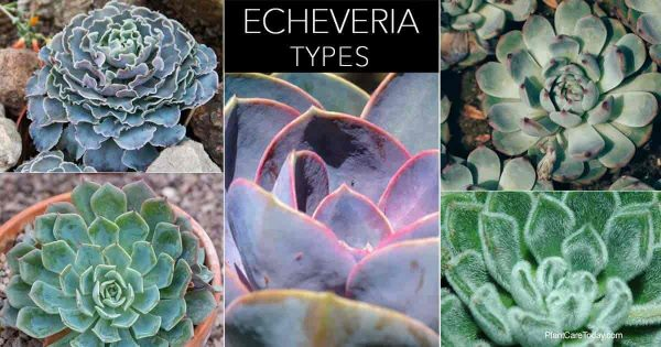different types of Echeveria succulents