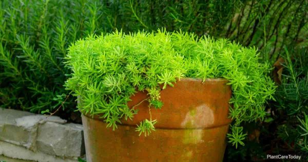 Potted Sedem angelina planted in clay pot