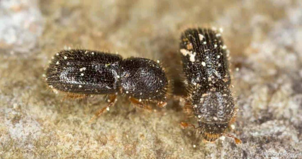 Ambrosia beetles up close