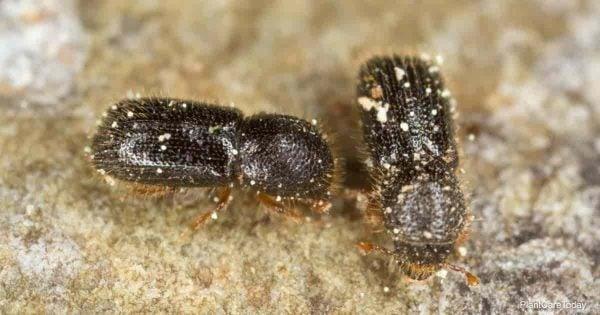 Close up of Ambrosia beetles