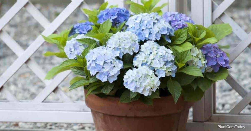 Beautiful Hydrangea flowers growing in a clay pot
