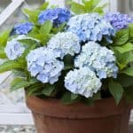 How To Grow And Care For Hydrangea In Pots