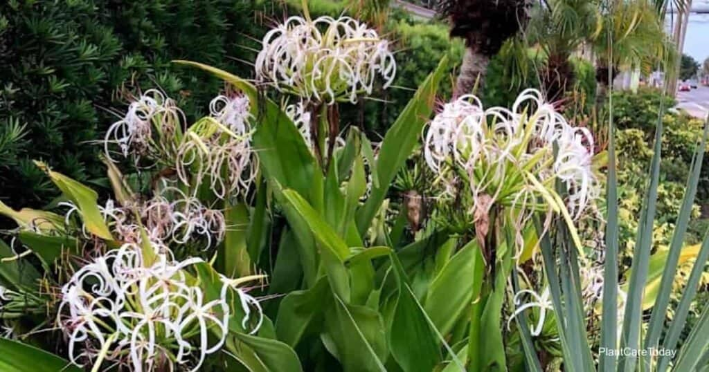 Blooming Crinum asiaticum
