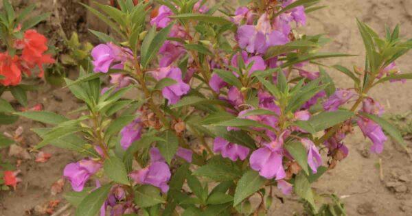 Blooming Balsom flower
