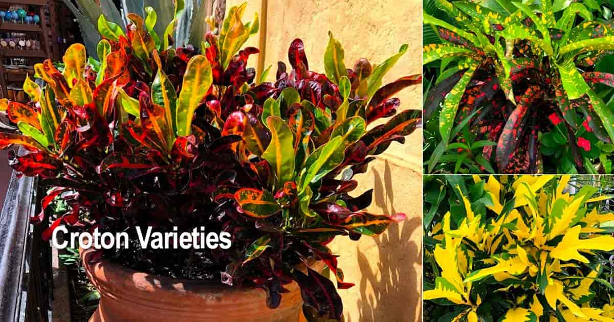 Colorful vibrant leaves of different Croton varieties