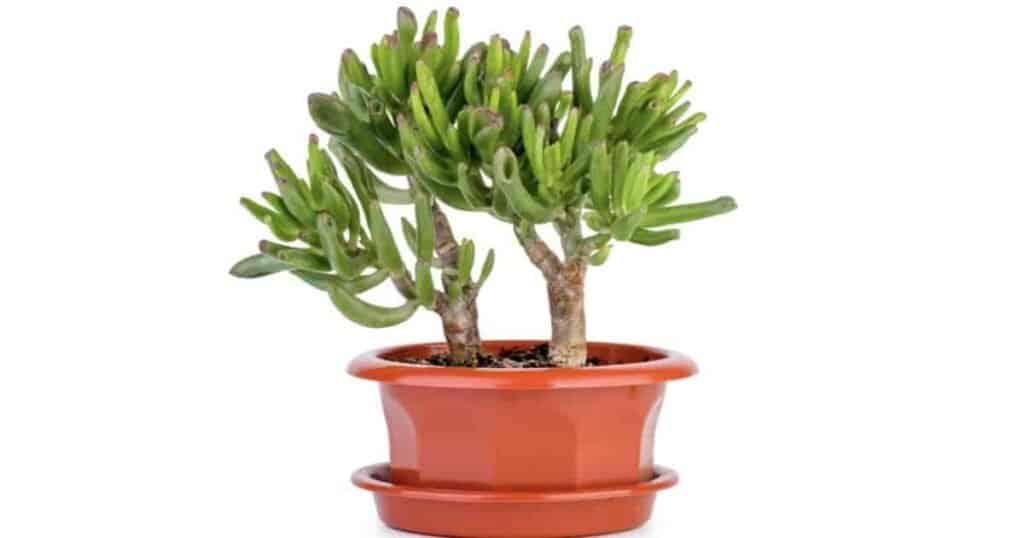 Crassula gollum with its succulent finger like leaves