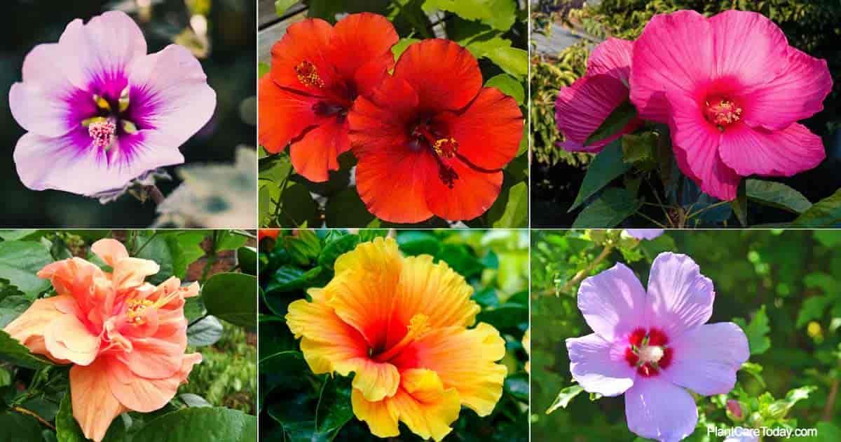 Common types of Hibiscus varieties