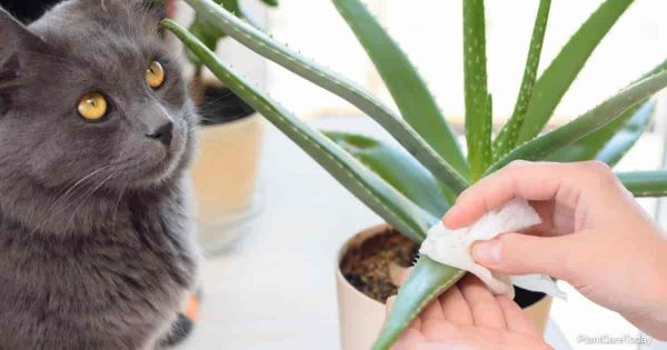 A cat watches a girl caring for domestic plants