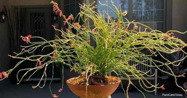 Devils backbone Eurphorbia growing outdoors