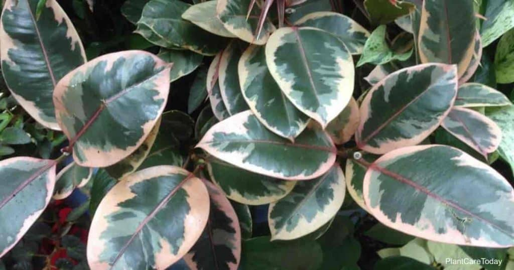Variegated rubber plant - is it poisonous