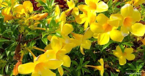Yellow flowers of the Allamanda bush