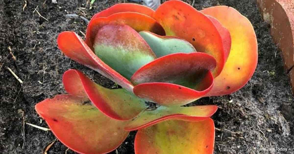 Attractive Kalanchoe thyrsiflora plant - is it toxic?